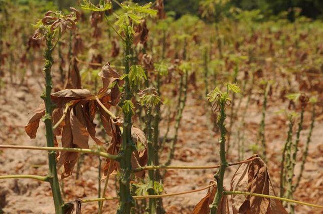 """Nhện đỏ tấn công, """"thiêu rụi"""" nhiều diện tích mì trồng"""