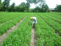 Kỹ thuật thâm canh đậu phộng trên nền đất xám tỉnh Long An