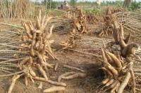 Dồn lực cho cây khoai mì phát triển