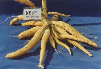 Giống khoai mỳ KM 94