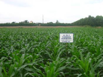 Quy trình kỹ thuật trồng ngô lai cho các tỉnh phía Nam