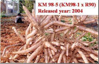 Giống khoai mỳ KM 98-5